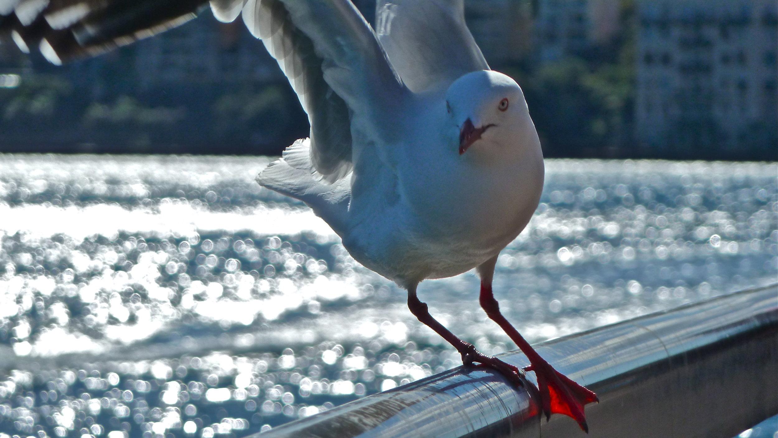 Jun:  Sydney Seagull