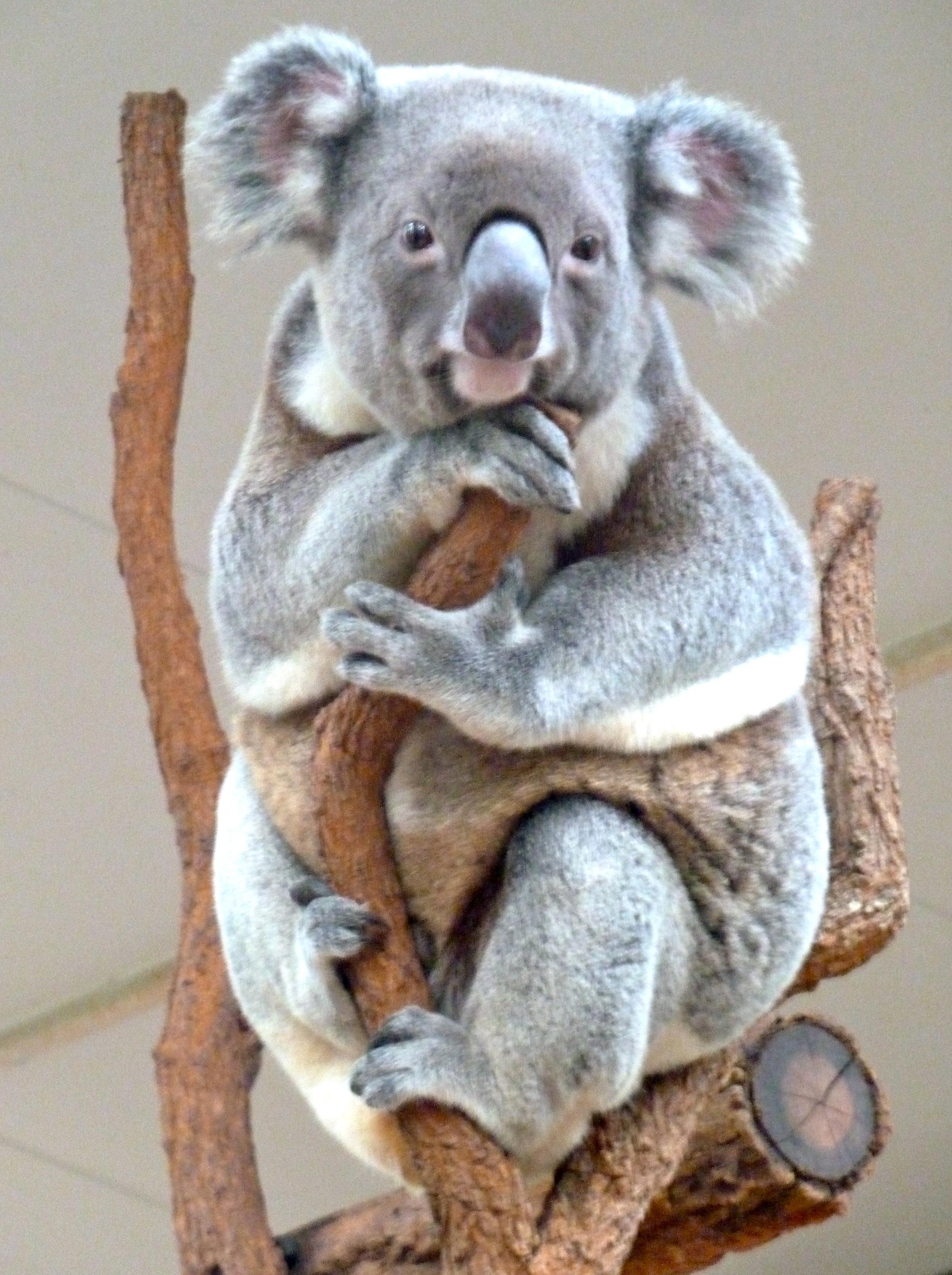 Oct:  inhabitant of the Lone Pine Koala Sanctuary, Brisbane