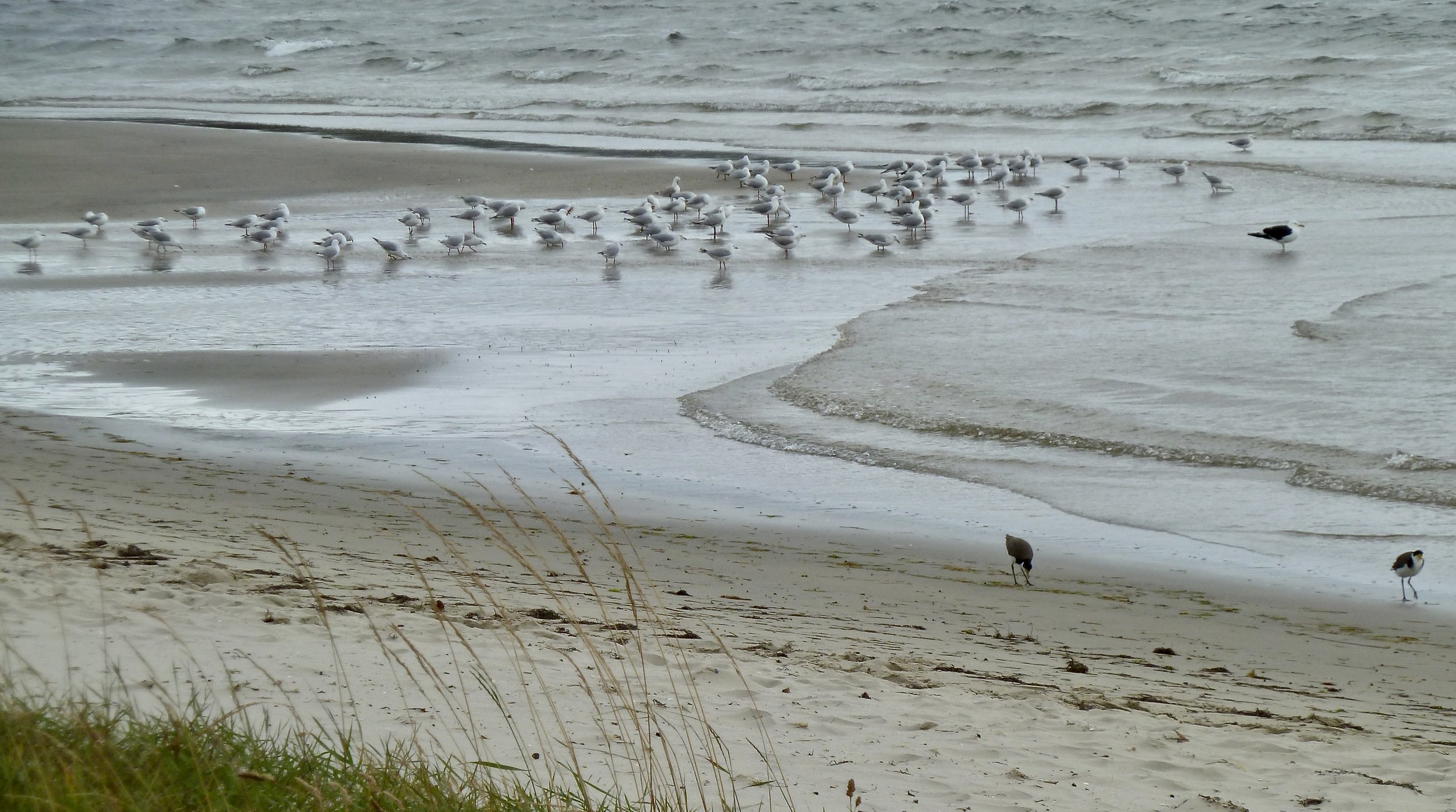 Many Silver Gulls, one large Pacific Gull, and two Masked Lapwings