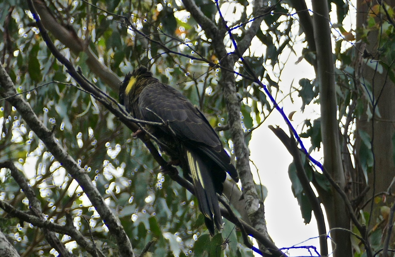 Shy Yellow-tailed Black-Cockatoo