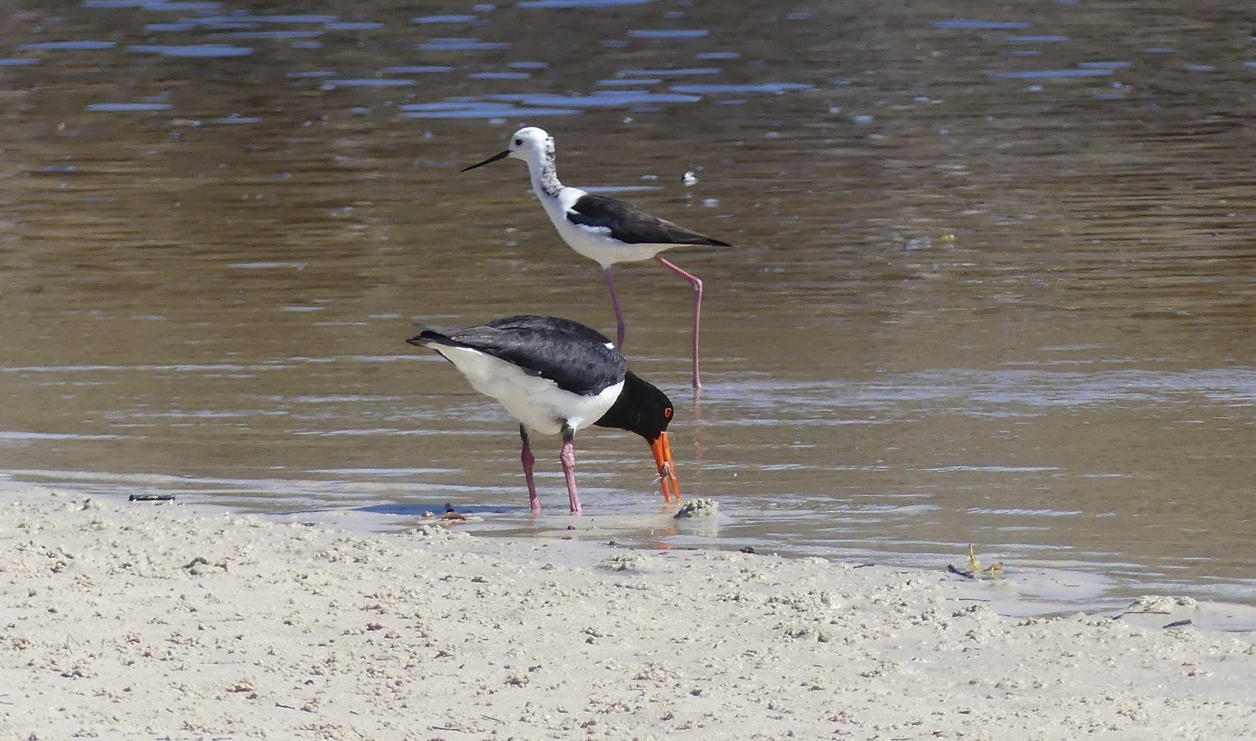 Black-winged Stilt and Pied Oystercatcher