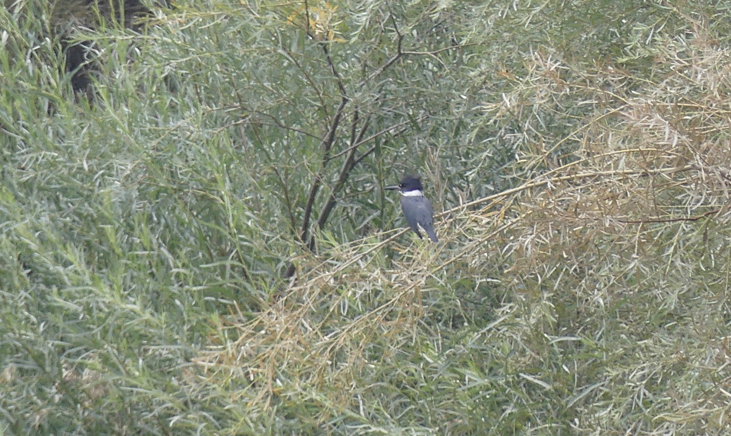 A Belted Kingfisher (I think) in the John Day River valley