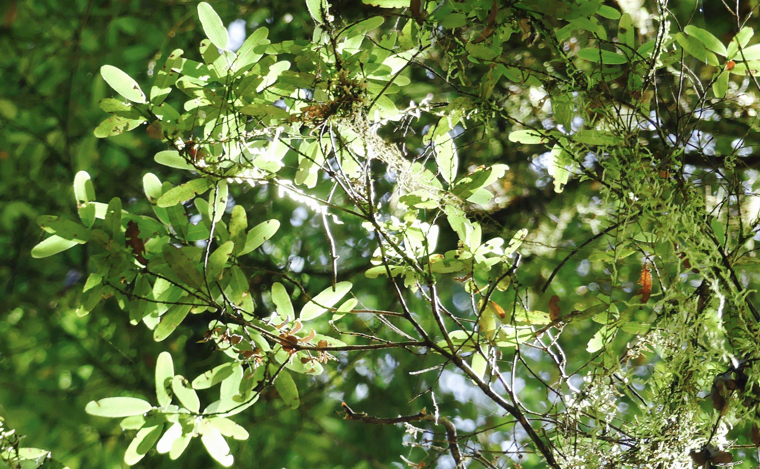 Paddle-shaped Leatherwood leaves