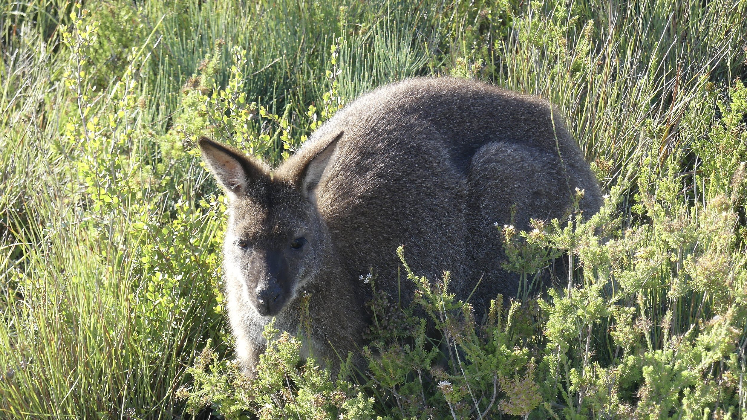 Bennetts Wallaby