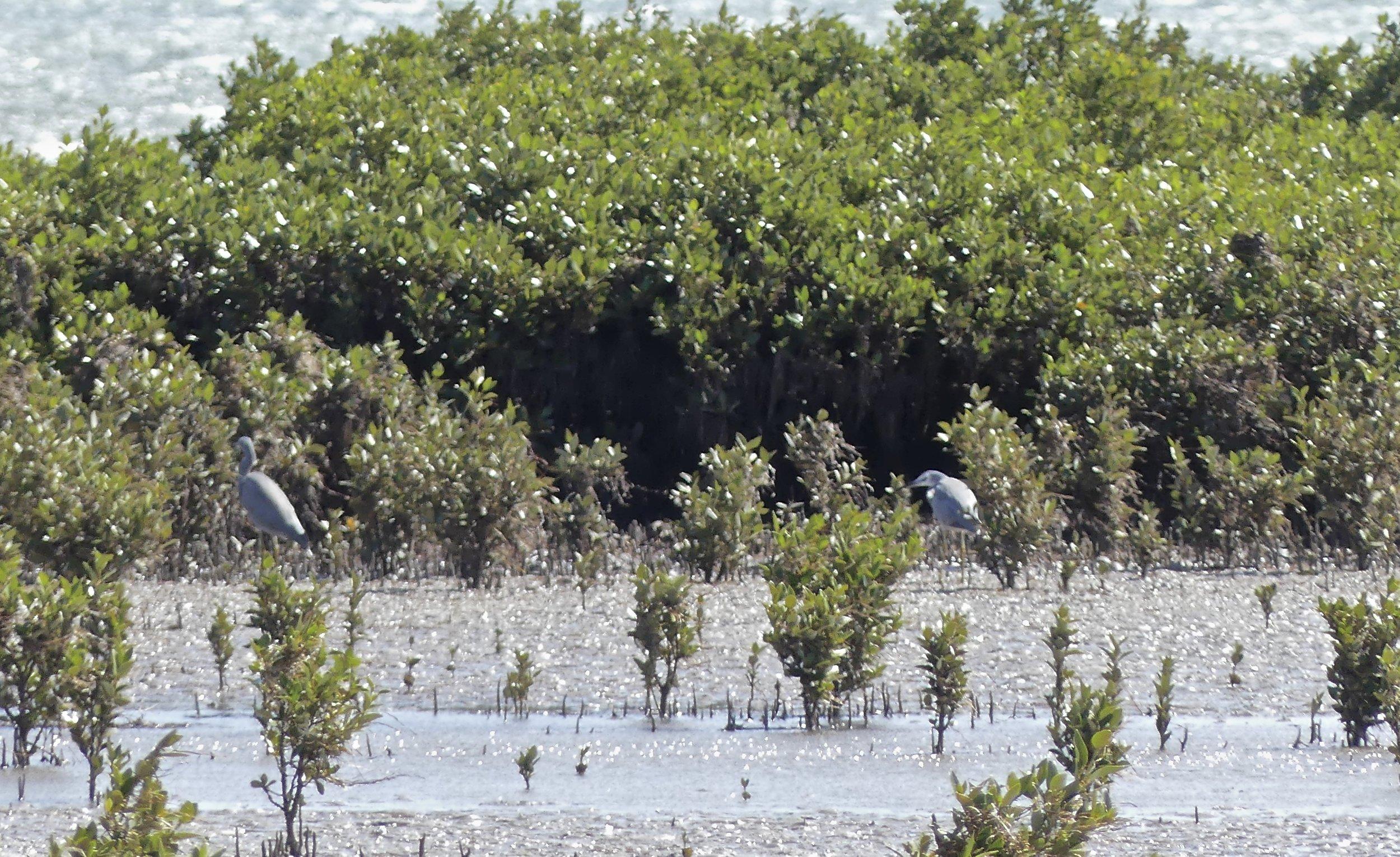 2 White-faced Herons hiding