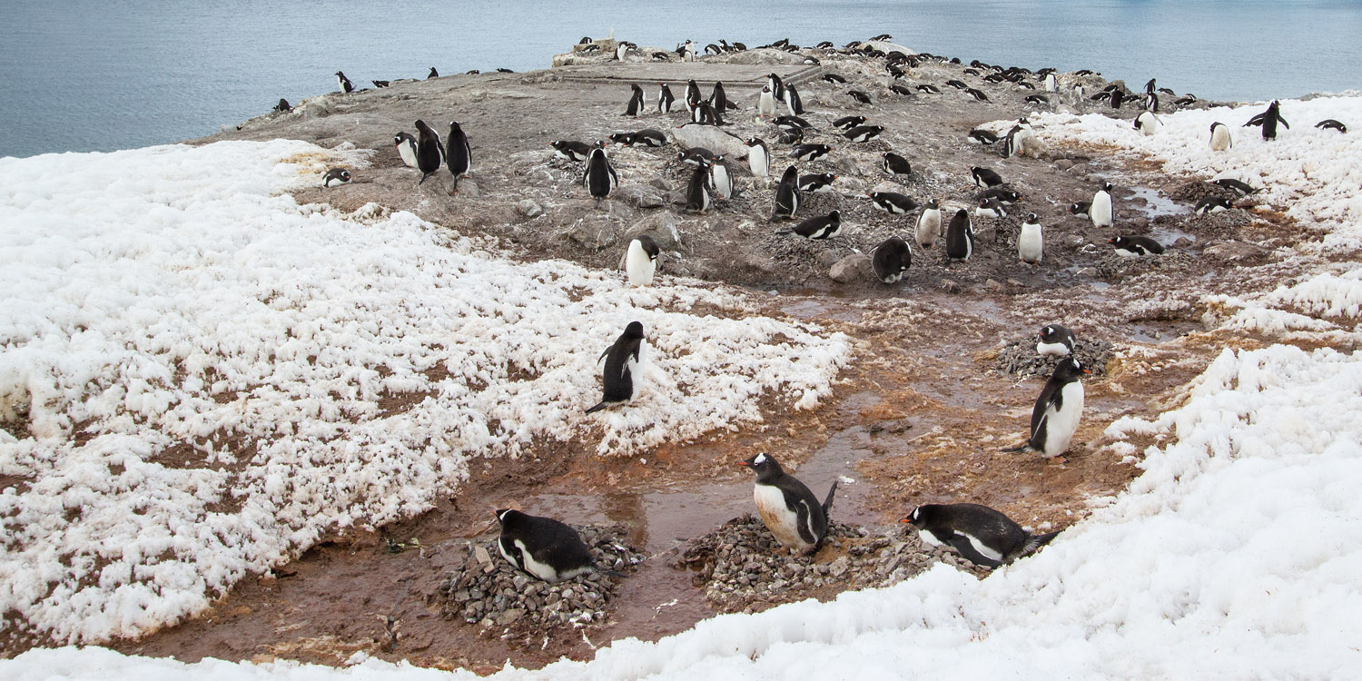 gentoo-penguin-colony-neko-harbour-12x6.jpg