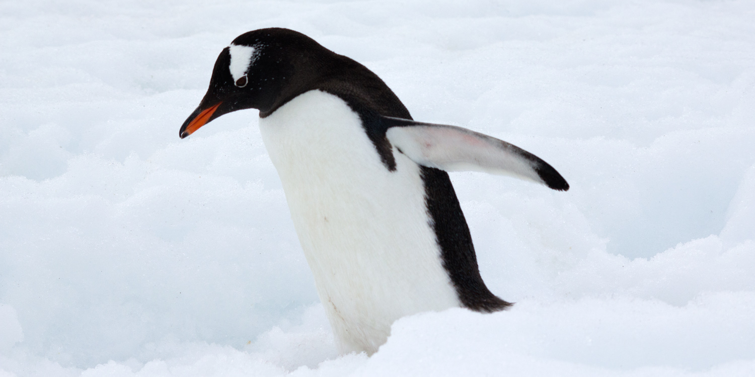 gentoo-penguin-walking-12x6.jpg