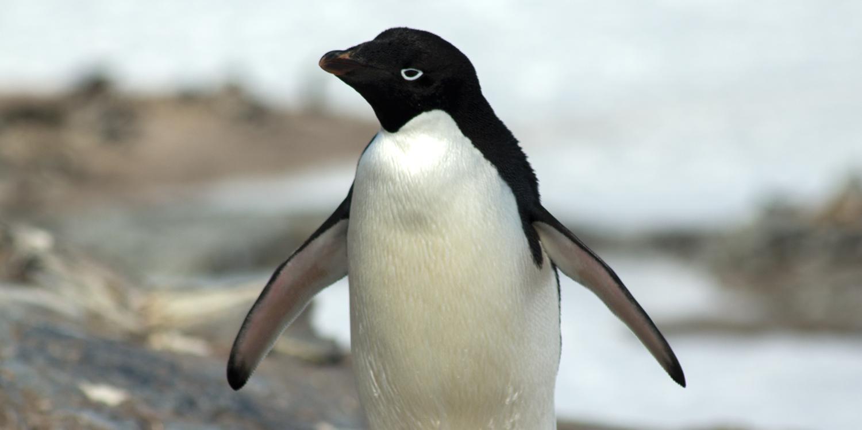 adelie-penguin-12x6.jpg