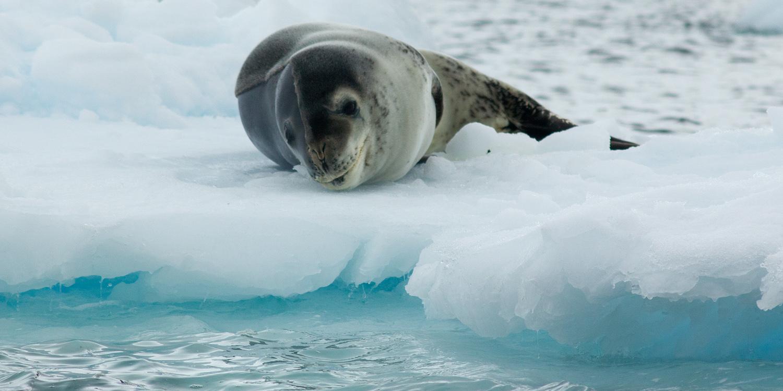 leopard-seal-12x6.jpg