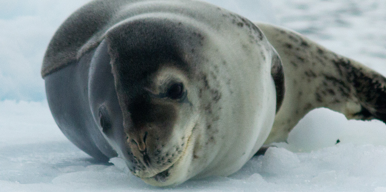leopard-seal-close-up-12x6.jpg