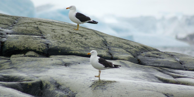 seagulls-12x6.jpg