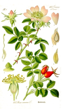 """Very high in essential fatty acids and does restorative wonders on weathered and dehydrated skin, healing scars and treating premature aging with wrinkle-reduction. Rosehip seed helps restore normal desquamation (from the latin word """"desquamare"""" meaning """"to scrape the scales off a fish"""") - also called skin peeling, shedding the outermost membrane or layer of tissue, & imparting purifying effects by removing fatty impurities accumulated on the skin. Rosehip cleans the skin leaving it better oxygenated and purified."""