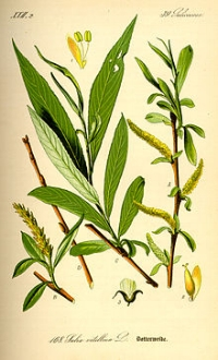 Willow Bark Extract contains salicylic acid, a BHA that is a natural exfoliant and is used in many acne treatments because of its ability to help  skin shed dead cells and clear pores; it can also stimulate new cell formation.