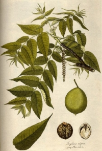 The tannins in black walnut have an astringent effect, which is used to tighten the epidermis, mucous membranes and relieve irritation. Dermatological applications associated with black walnut include viral warts, eczema, acne, psoriasis, xerosis , tinea pedis and poison ivy.  The juice from unripe black walnut hulls has been used in folk medicine for many years as a treatment for topical, localized dermatophytic fungal infections, such as ringworm. These fungal infections usually involve the keratinized tissues, such as hair, skin and nails. Such infections may be chronic and resistant to treatment but rarely affect the general health of the patient. It's been suggested that the biological activity of the black walnut hull is due to the naphthoquinone, juglone (5-hydroxy-1,4 naphthoquinone). The antifungal activity of juglone has also been compared to other known antifungal agents, such as griseofulvin, clotrimazole, tolnaftate, triacetin, zinc undecylenate, selenium sulfide, liriodenine and liriodenine methionine. In a study, it was determined that juglone exhibited moderate antifungal activity similar to zinc undecylenate and selenium sulfide, which are commercially available antifungal agents.