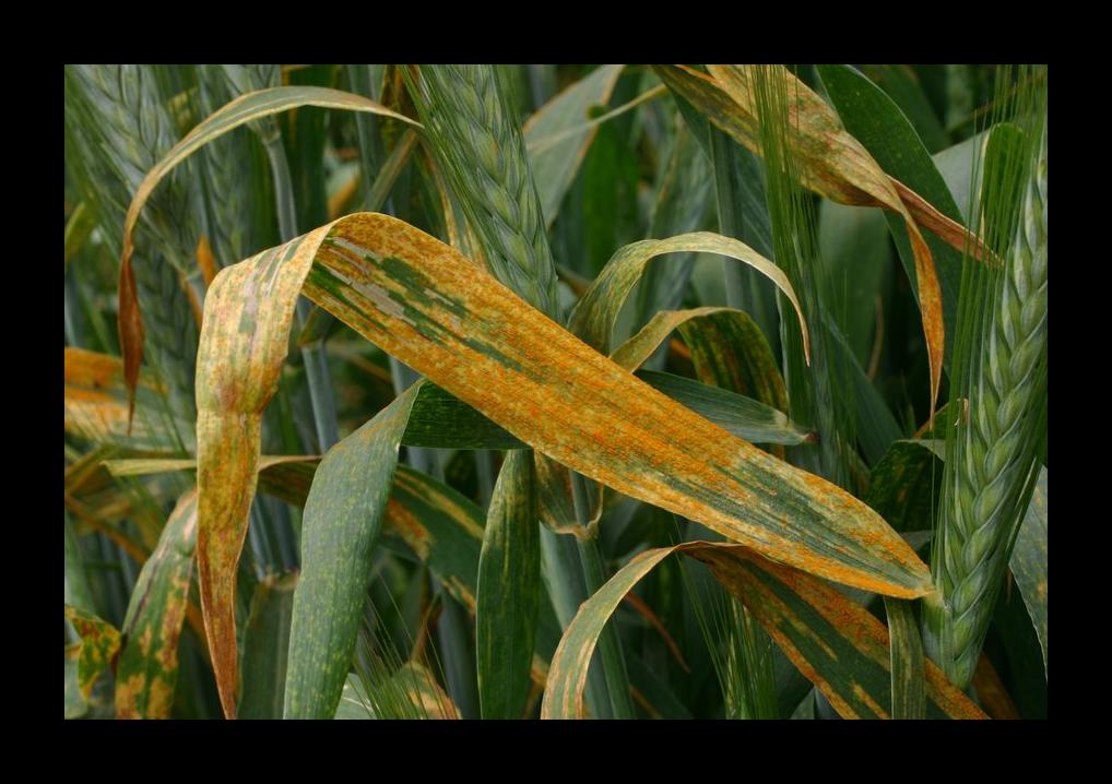 rust_corn2.png