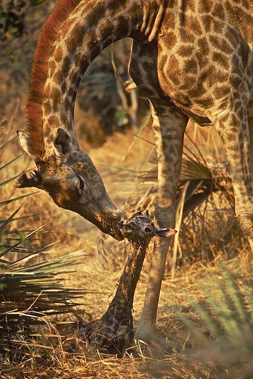 New Life - Giraffe ©Connie Bransilver