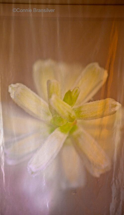 Spranthes Orchid (Spiranthinae) Terrestrial