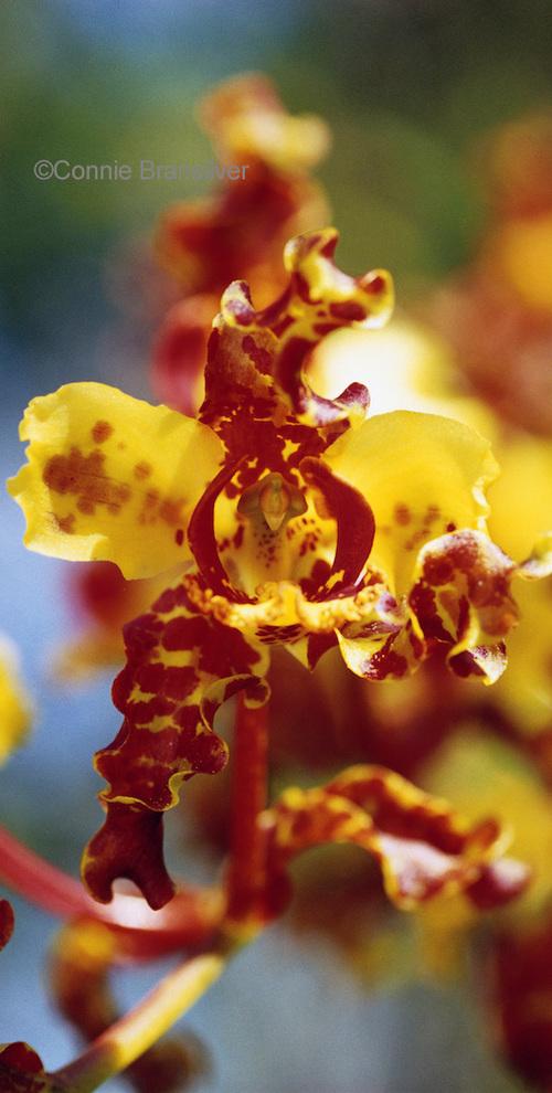 Bee Swarm Orchid (Cyrtopodium Punctatum Epiphyte)