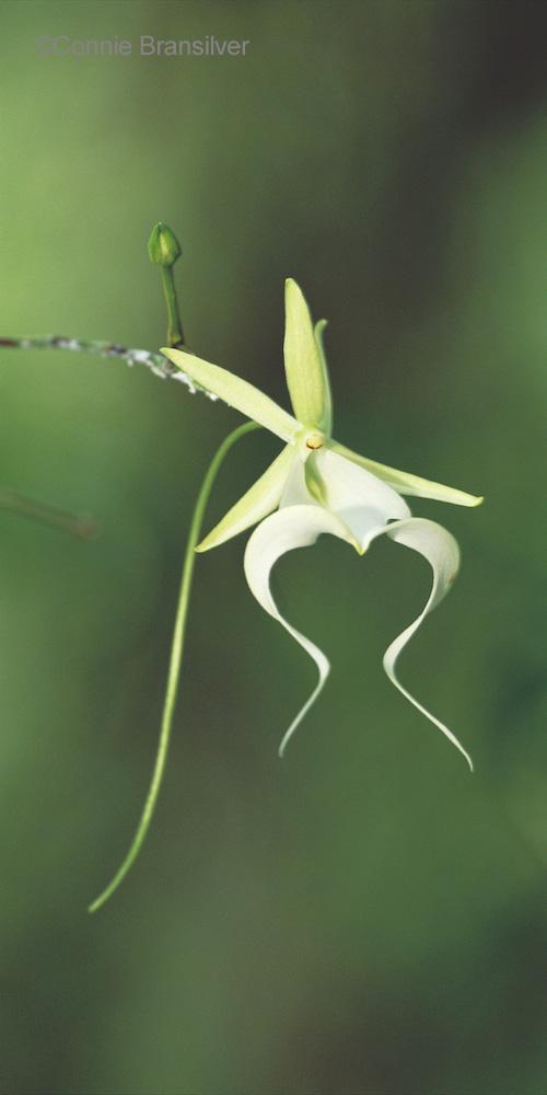 Ghost Orchid (Dendrophylax lindenii) Epiphyte
