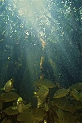 Under the Mangroves ©Connie Bransilver