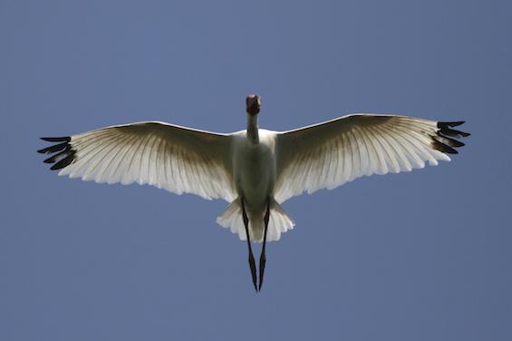 6 - Sandhill Crane on the wing.jpg