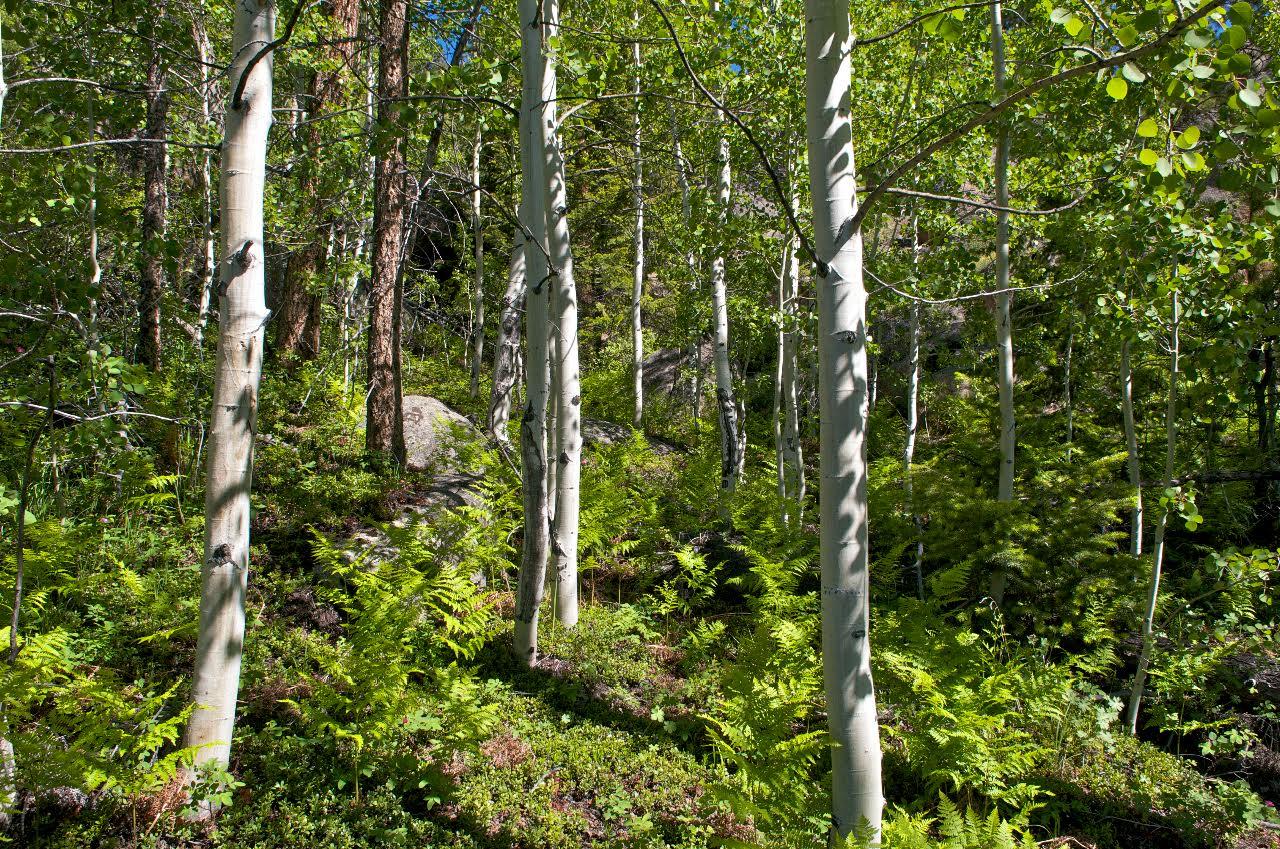 spring aspens.jpg