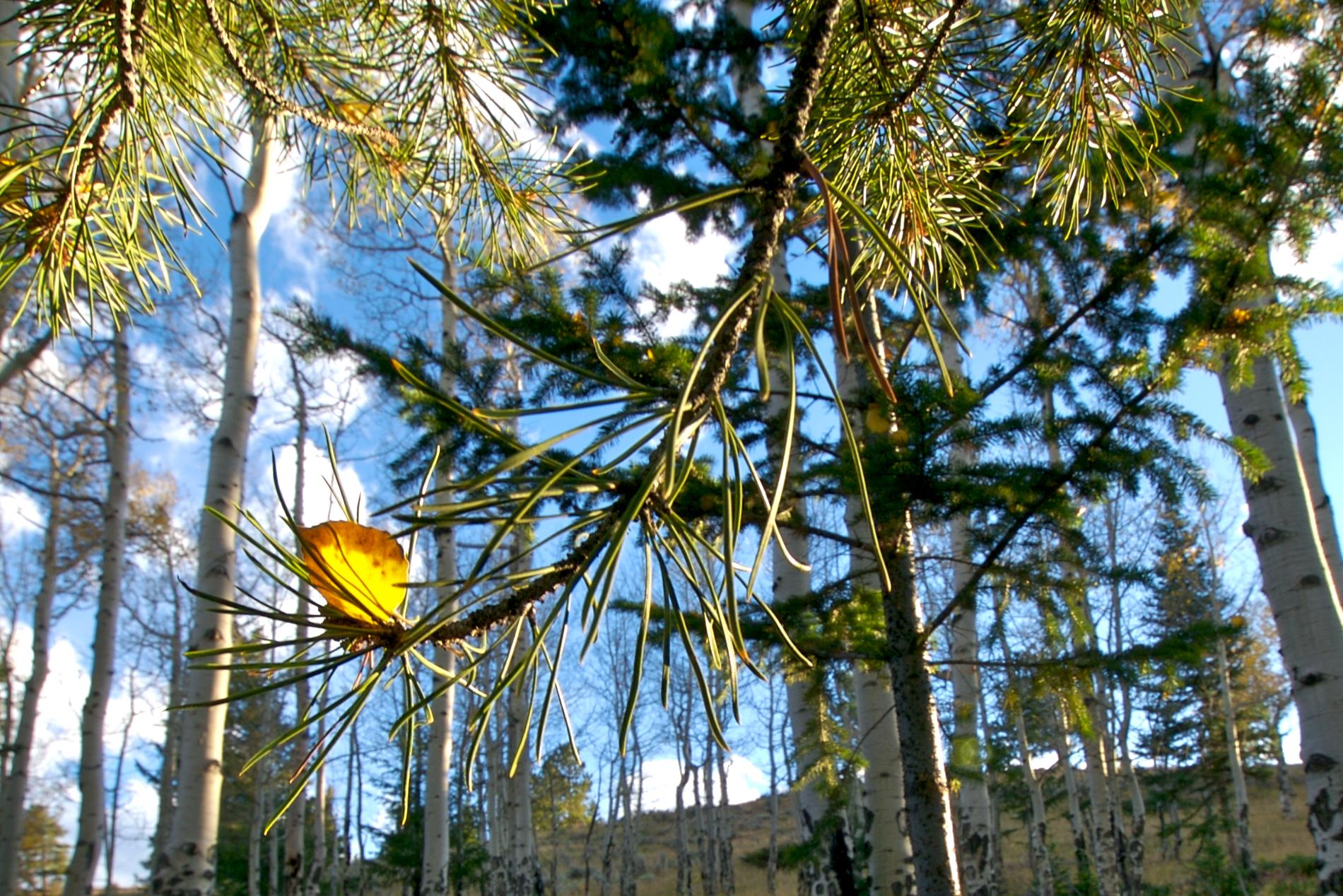 ER Aspen Leaf.jpeg