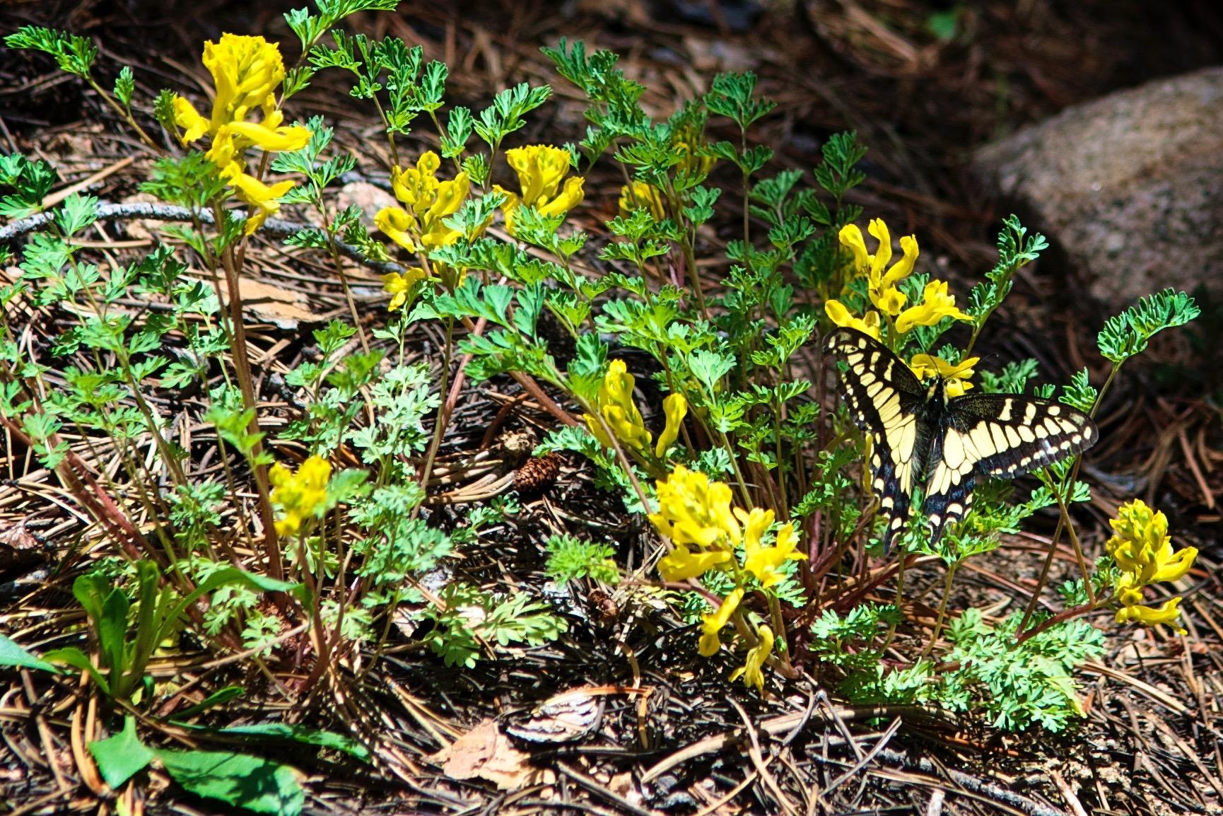 ER Rocky Mountain Butterfly.jpg
