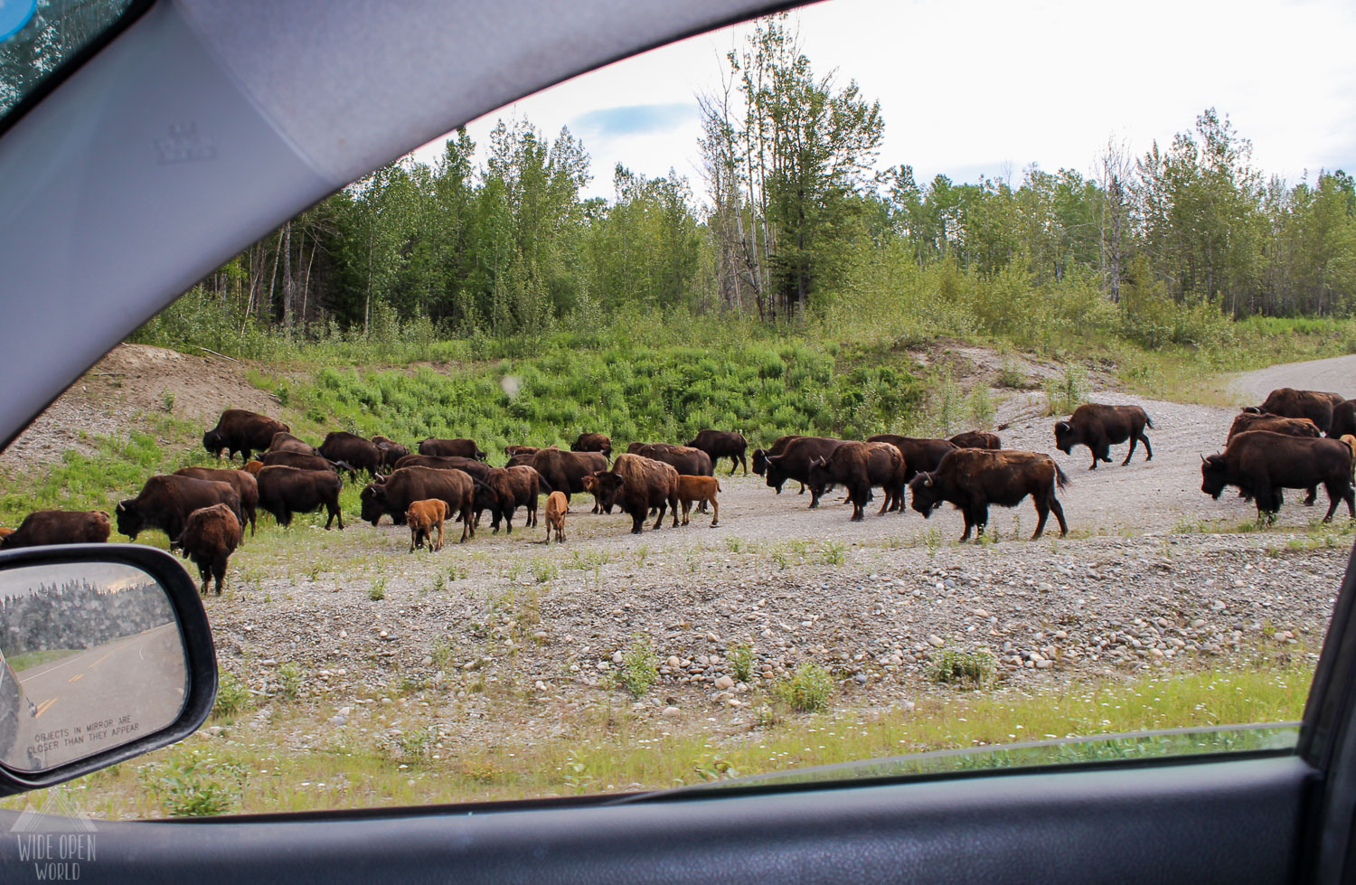 Countless amounts of bison on the drive