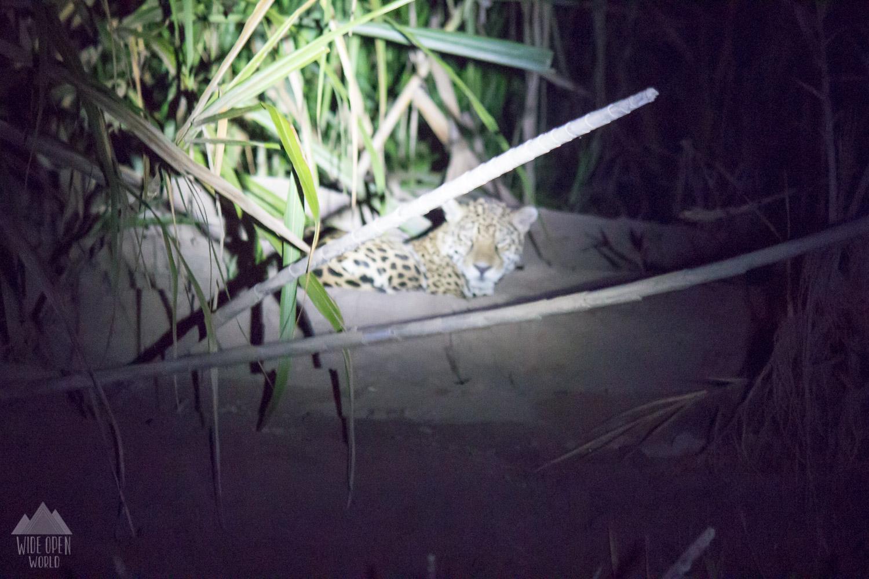Jaguar at night (taken from boat)