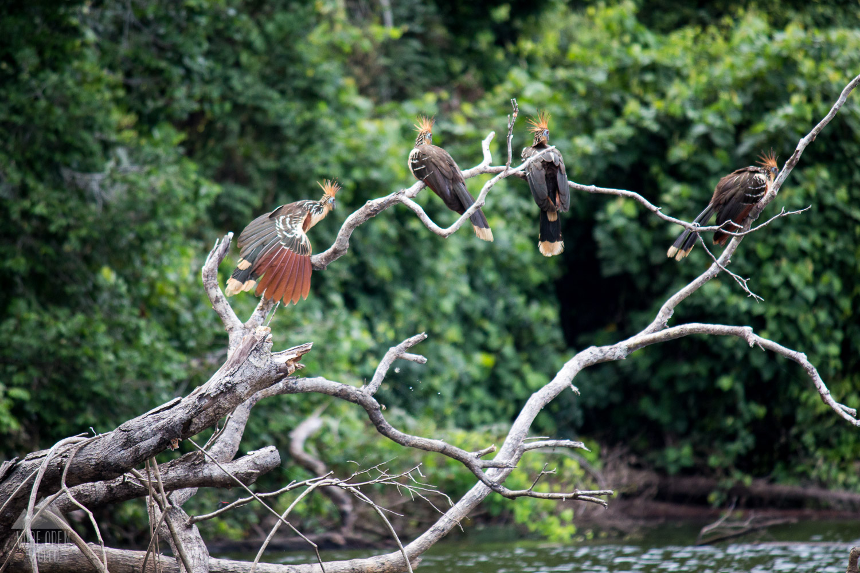 Hoatzin or Canje Pheasant