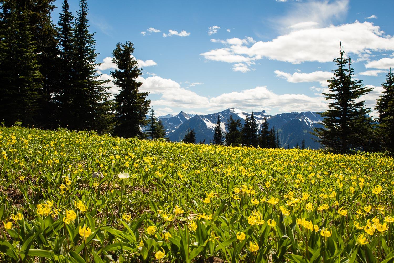 Lily-meadows-valemount-bc.jpg