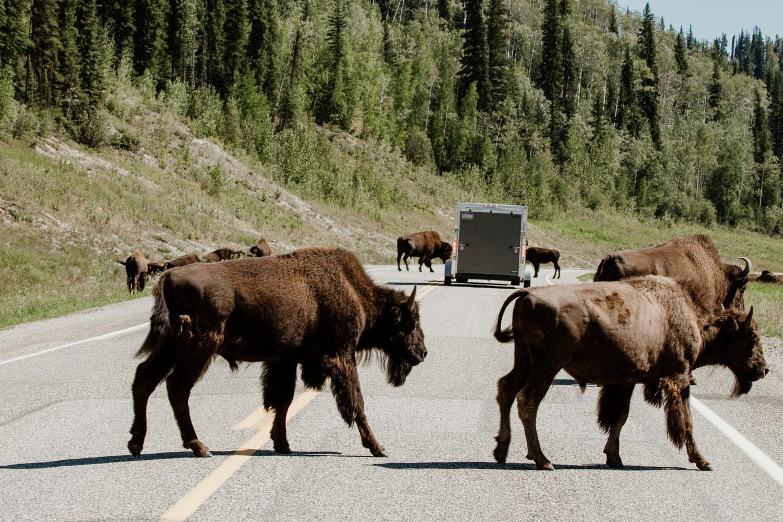 bison-alaska-highway.jpg