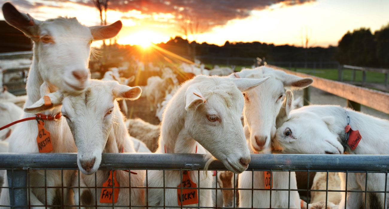 MRD-happy-goats.jpg