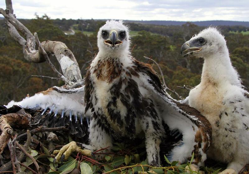 Eagle Babies!