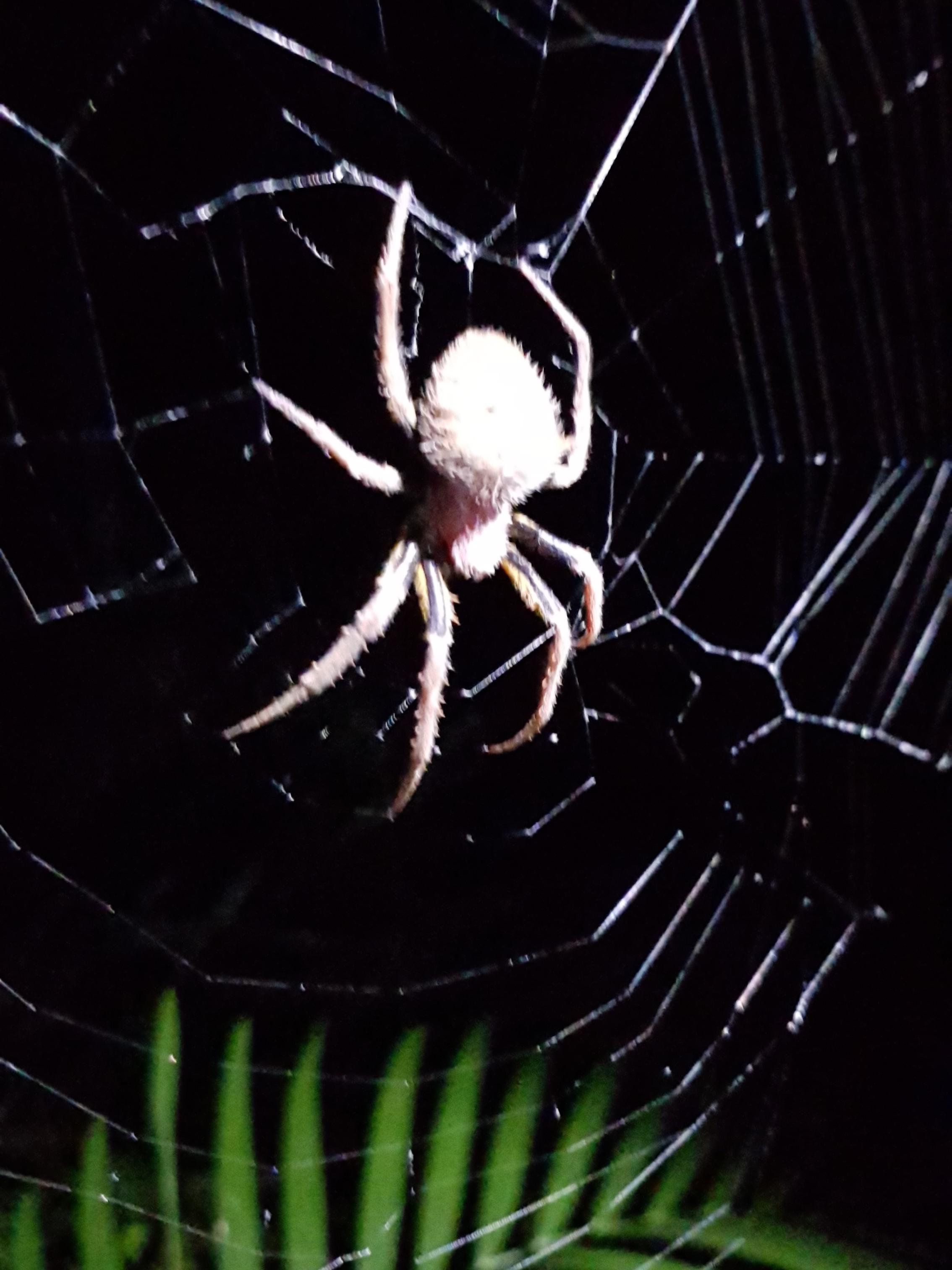 Witch Spider