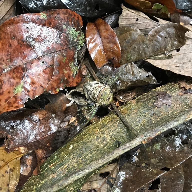 Giant Cicada