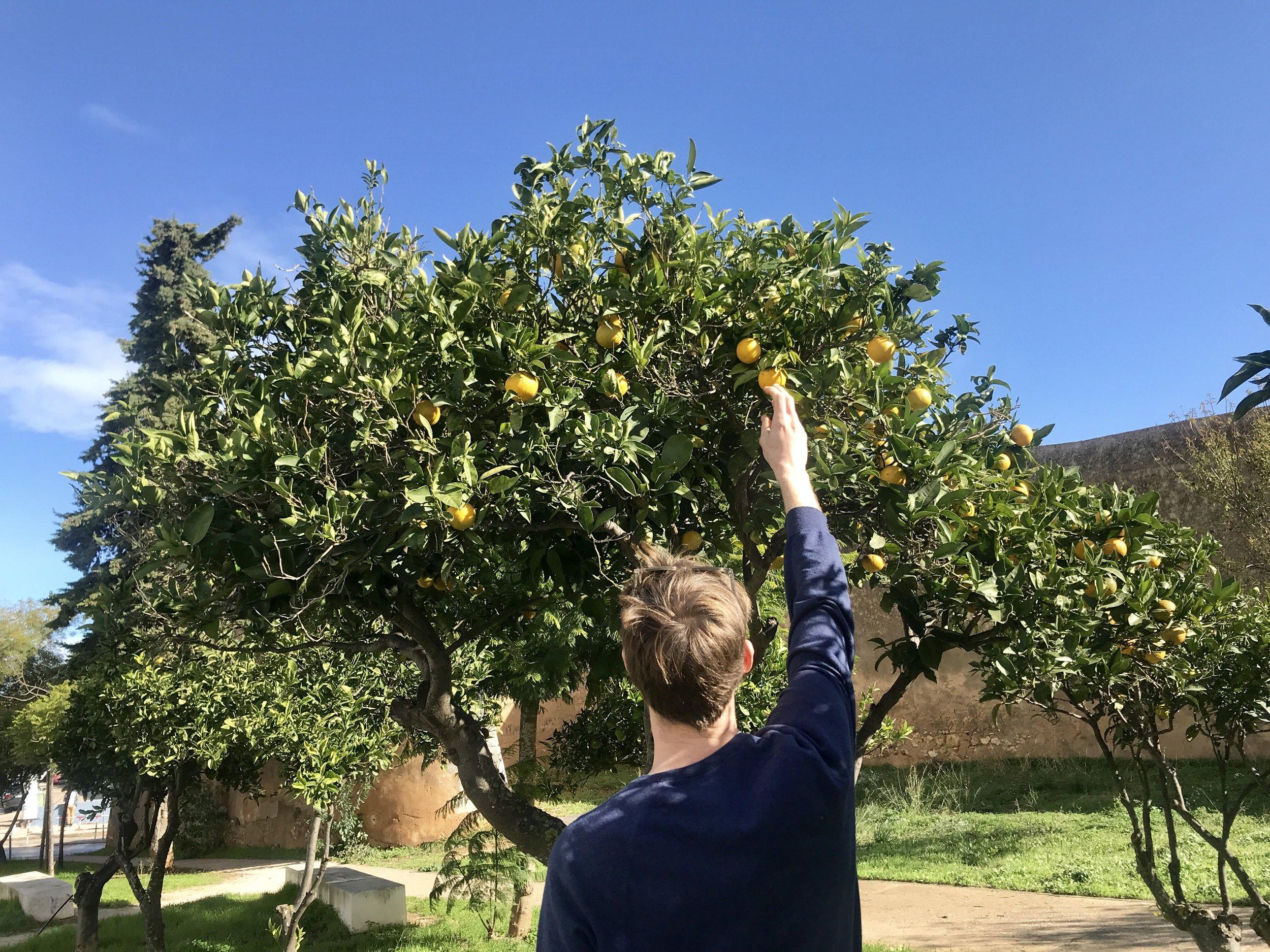 George picking oranges in Lagos