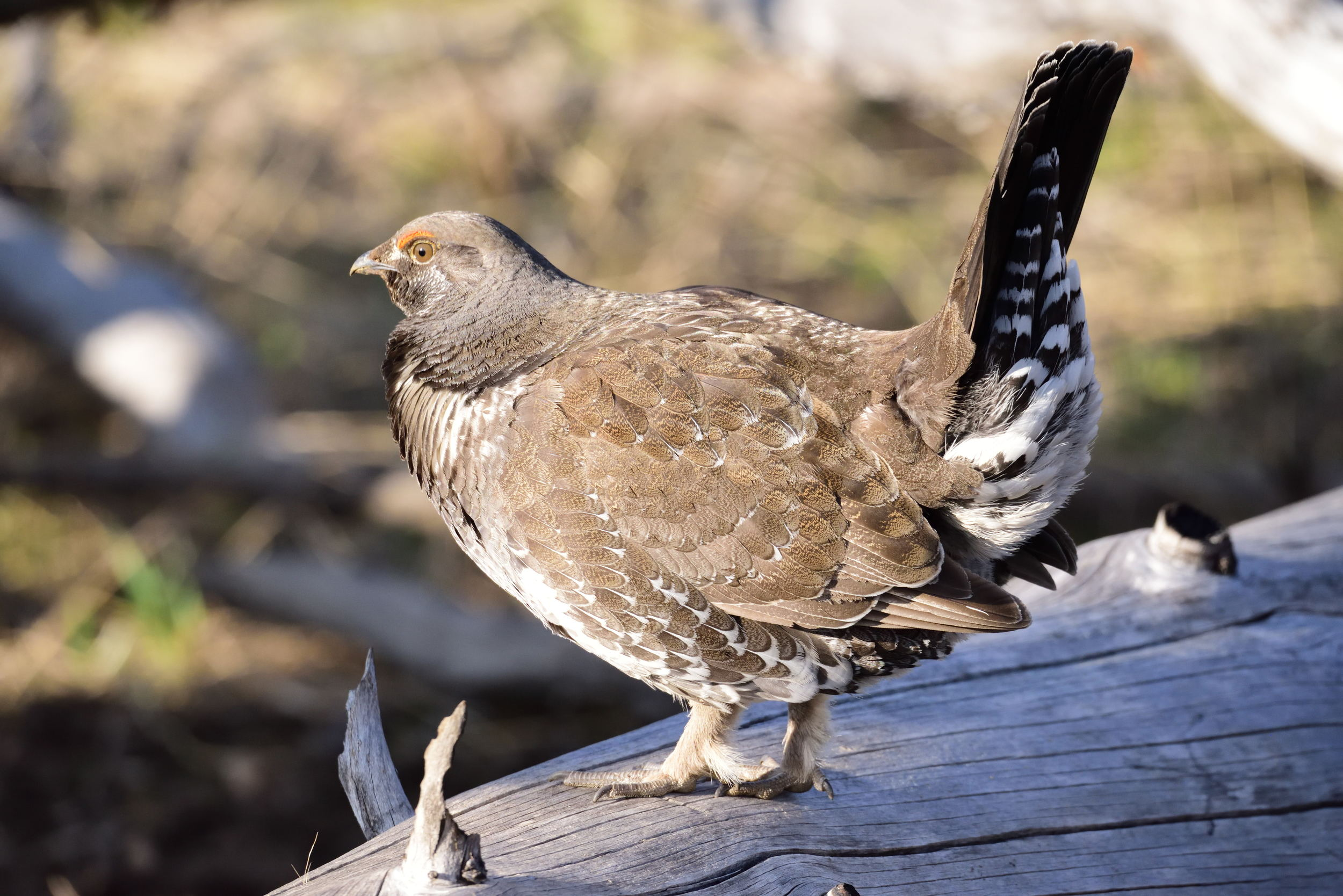 blue grouse.jpg