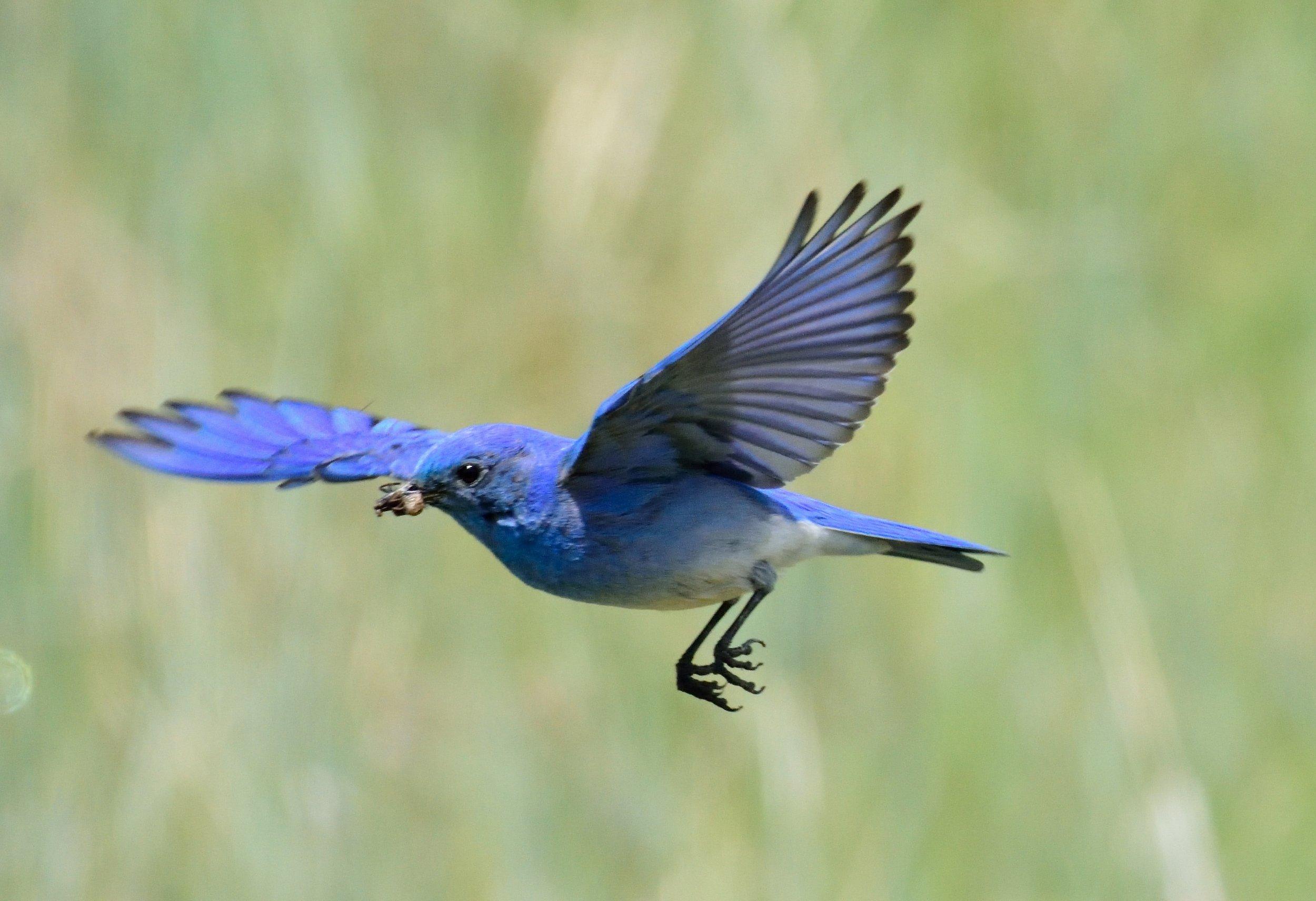 Blue bird 1 (2)-email.jpg