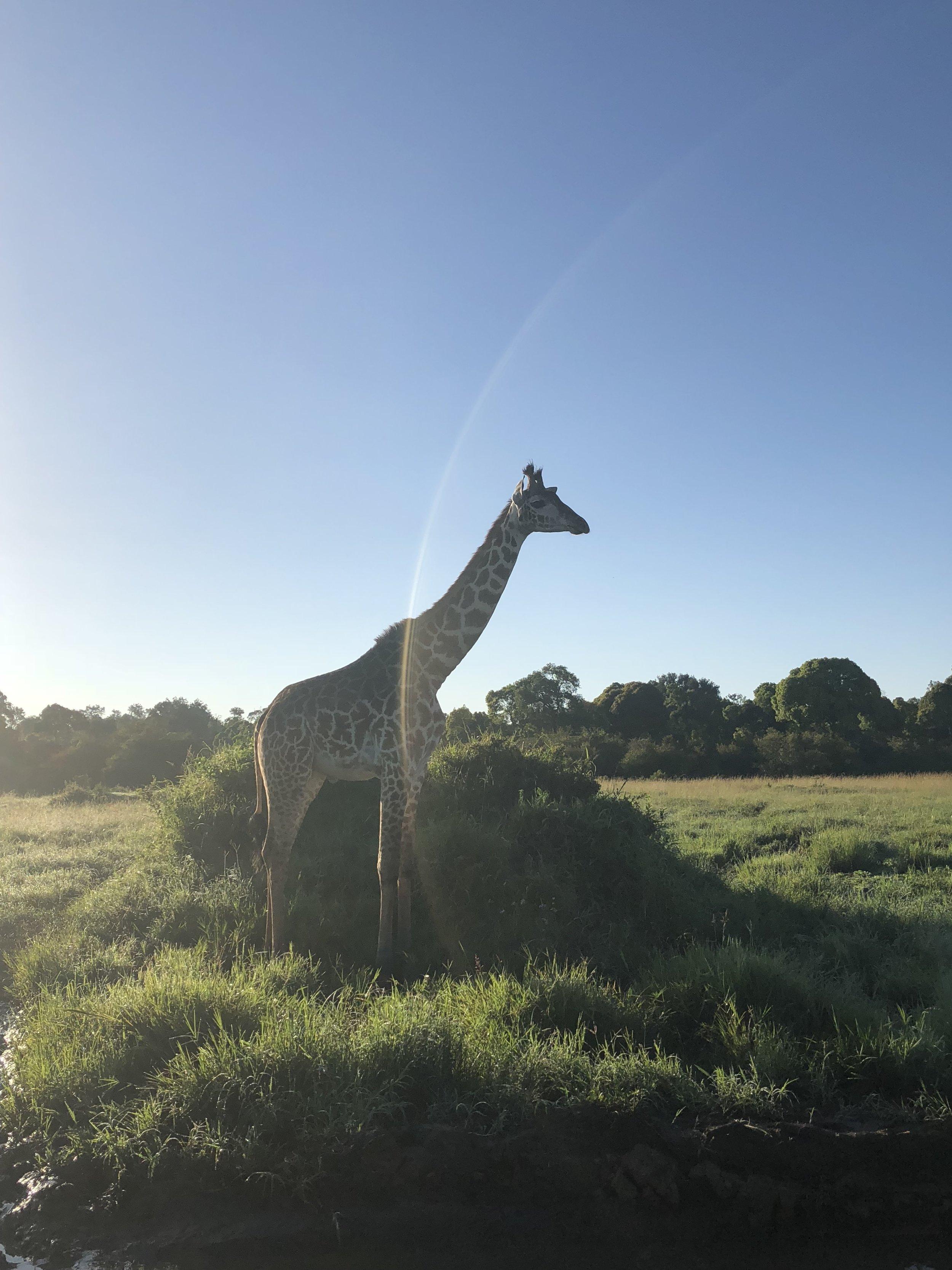 tifdot kenya giraffes.jpg