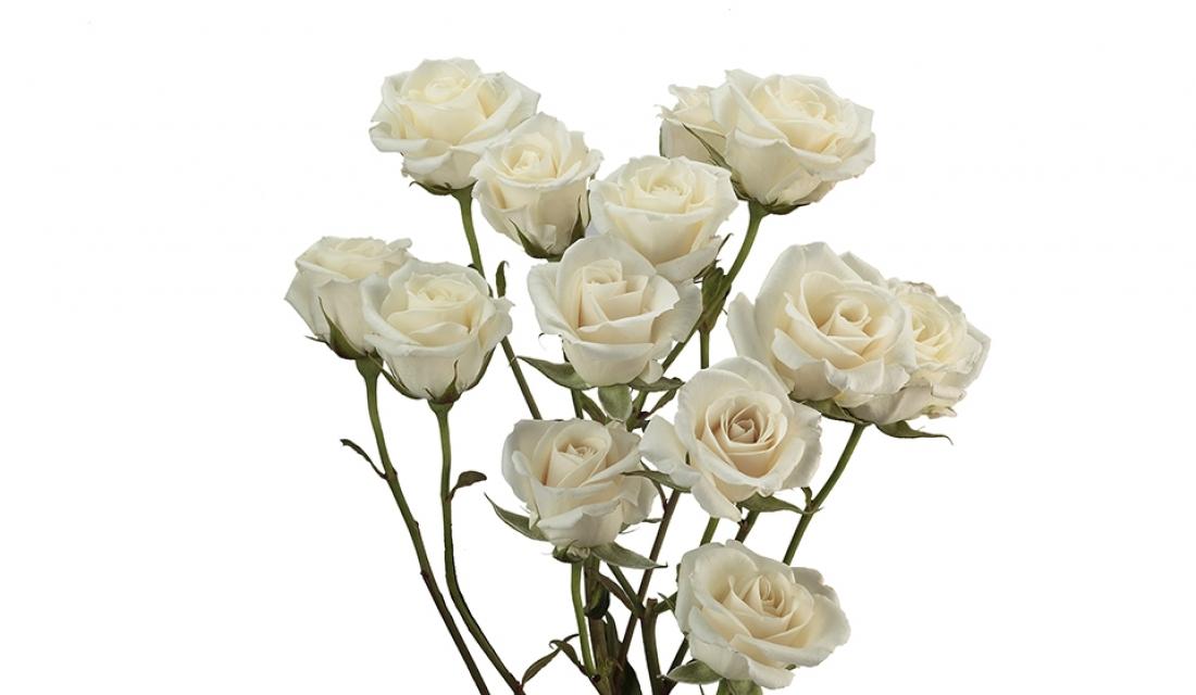 Elite_Flower__MG_3241-spray-rose-white-majolica-mtvkw8hox34q7c5akcferktfuegh441kgsza7g9m2o-mtweayzcu6glbk9vahmjszkf15a2uoin8fahsy2n7k.jpg