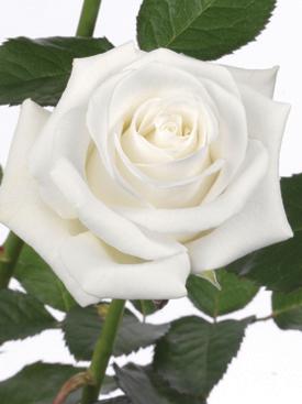 Rose-White-Akito-Eufloria.jpg