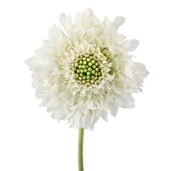 Vanilla-Scoop-Scabiosa-Bloom-350_89005f40.jpg