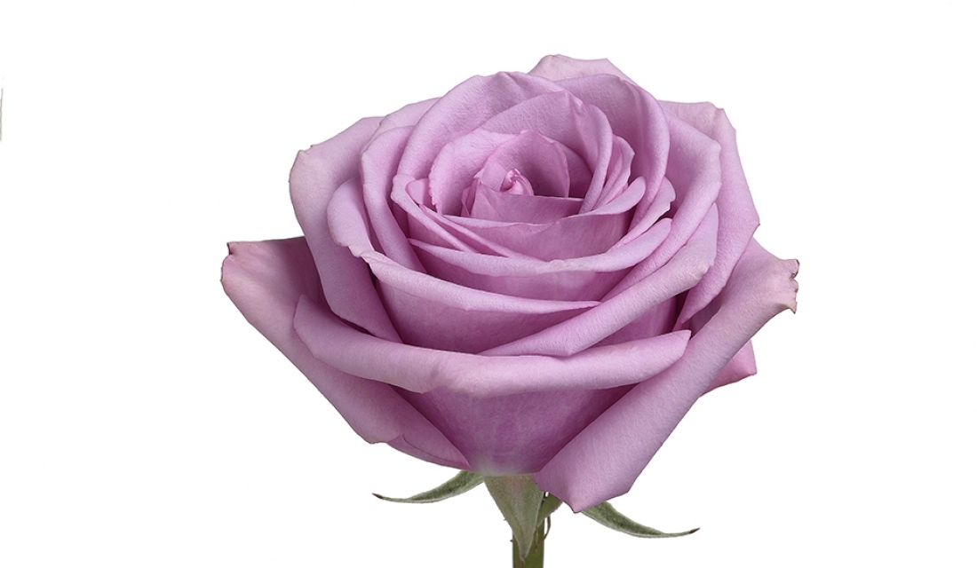 Elite_Flower__MG_2835-rose-cool-water-mtvkv50gy1monpqmyvd2uus2w7v24toubdkw1tw5c0-mtwdt7t3qu5m0q2aytc8pguz34shgi164jobgsecqo.jpg
