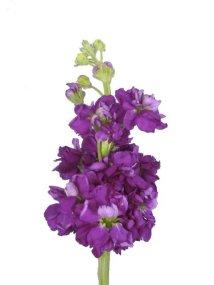 purple-stock.jpg