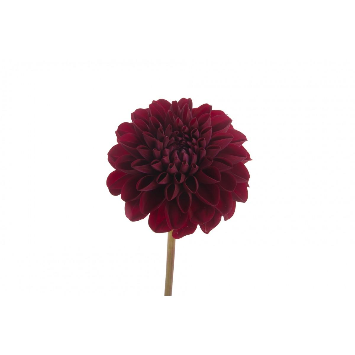 burgundy-dahlia-flower-2.jpg