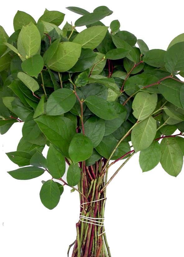 18c1de446683691946260e7e51ff118f--lemon-leaves-cut-flowers.jpg