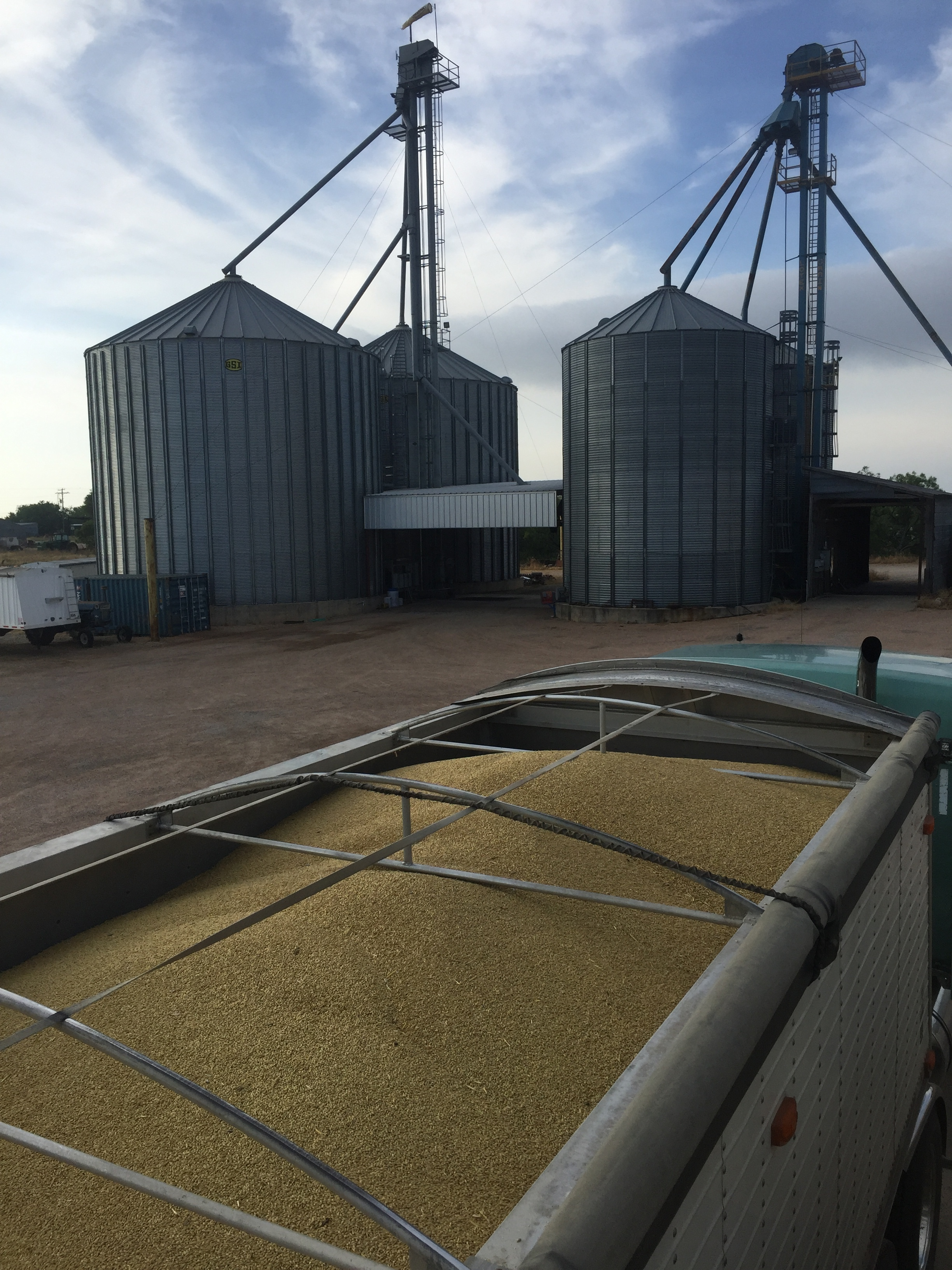 Truckload of Texas grown 2 row malting barley at the storage elevator in North Central Texas.