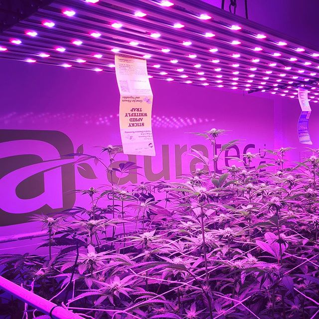 End of week 3 under the @illumitex in the @auratecinc and @cricketdude420 Cricket4Trials. The girls are stretching out and appear to enjoy the density/spacing of this run. Looking forward to the results and appreciate your support: @auratecinc @cricketdude420 @illumitex @mammothmicrobes @theluckygarden @tdsdirect @origintherapeutics @terpenstein71o @floraflex @cyco_nutrients @anchorsocial  #mmj #medicalmarijuana #cannabis #consultant #cannabisconsultant #LEGALIZE #california #cultivator #budporn #thecannaagency #grow #cannatography #mjphotography